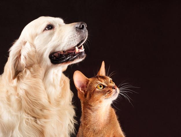 kot-i-pies-kot-abisynski-golden-retriever-patrzy-w-prawo_147970-14