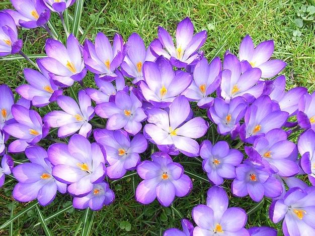 wiosna-krokus-fioletowy-kwiat_121-90865